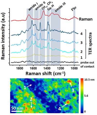 TERS and Raman spectra of individual tau protein monomers
